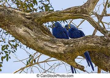 Blue Macaw in Pantanal - Rear view of Blue Macaw in...