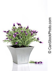 Lavender Herb Flowers - Lavender herb plant in flower in a...