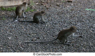 monkey eats rice on the pebbles in the evening