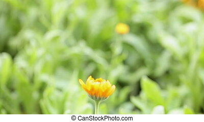 Medicinal marigold (Calendula) - Field of blossoming...
