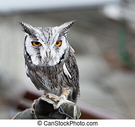 Southern white faced owl perched