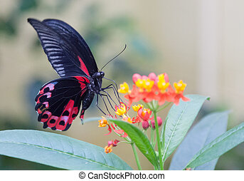 Scarlett mormon - Scarlet mormon butterfly feeding on a...