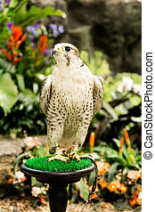Peregrine Falcon Falco peregrinus perched in the gaeden