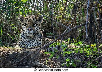 Jaguar in Pantanal - Front view of Jaguar resting in...