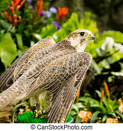 Peregrine Falcon (Falco peregrinus) perched in the gaeden