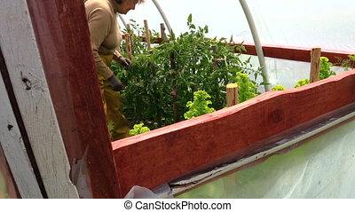 Senior grandma farmer woman care tomato plant in hot house....