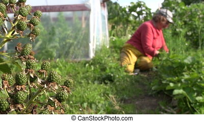 Blackberry grow and farmer woman we - Blackberry berries...