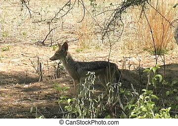 Jackal pup in Ruaha National Park Tanzania Africa