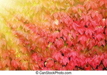 Outono, uva, folhas