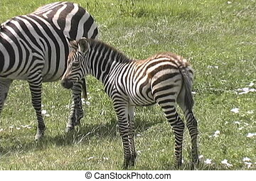 Young Zebra roaming the Serengeti