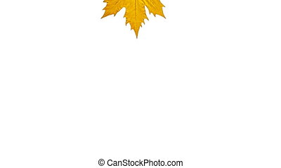 Falling and swirling sycamore orange leaf. With Alpha matte...