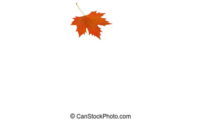 Falling orange sycamore leaf. Video transitions. With Alpha...