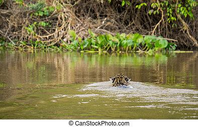 Jaguar in Pantanal - Rear view of Jaguar swimming in...