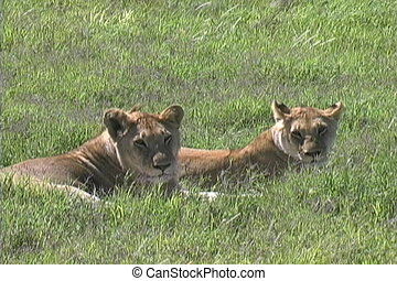 Lions resting in the heat of the day on the Serengeti