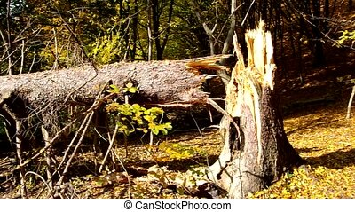 Broken tree - Broken evergreen tree in the forest.