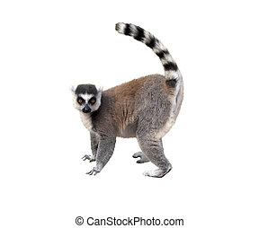 Lemur, profile view, isolated over white background