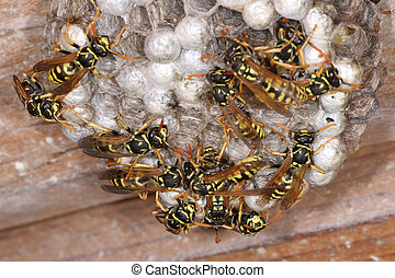 Wasps on Nest