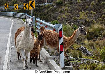 Lamas Family in El Cajas National Park, Ecuador.