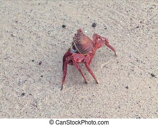 Sally Lightfoot Crab - A Sally Lightfoot Crab on the...