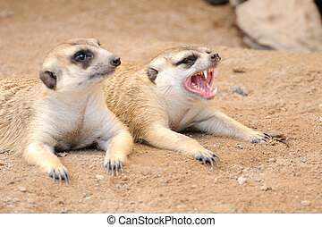 Meerkat or suricate, wild animal in action