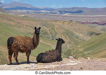 Lamas starring at beautiful landscape of Bolivia