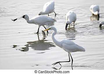 Egret catch a fish - A group of egret catching fish