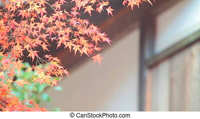 Red leaves of the maple in autumn - Kyoto, Jpana - November...