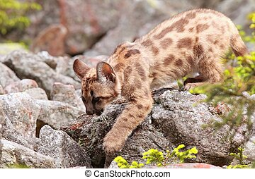 Puma kitten - Puma concolor cub called mountain lion in...