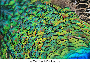 peacock feather texture as nice animal background