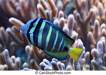 blue and yellow exotic fish from the red sea