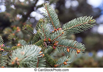 Branches of the Colorado blue spruce - Evergreen branches of...