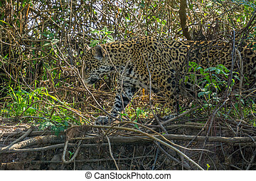 Side view of Jaguar in Pantanal walking through the forest -...