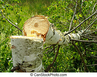 felled birch - fresh felled birch in the field...
