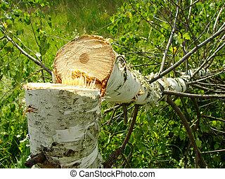 felled birch - fresh felled birch in the field...
