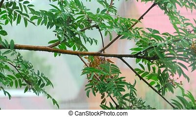 Rain - branch of a mountain ash in the rain
