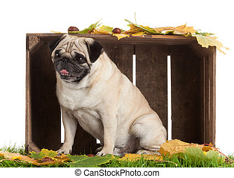Pug Dog isolated on white background with autumn leaves
