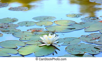 Lily flower. - Lily flower on water.