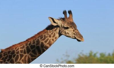Giraffe - Close-up of a giraffe