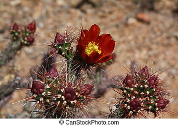 Cactus Bloom - Desert Cactus Bloom