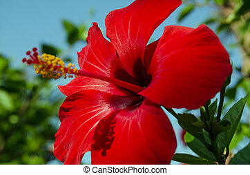 Red hibiscus flower - A red hibiscus flower blossoming in...