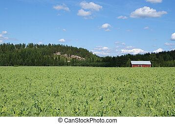 Pea Field - Pea field on a sunny day. On the right a red...