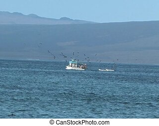 Frigate Birds flying around fishing boat in Galapagos...