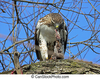Red-tailed Hawk Feeding On Marsh Rat In Tree