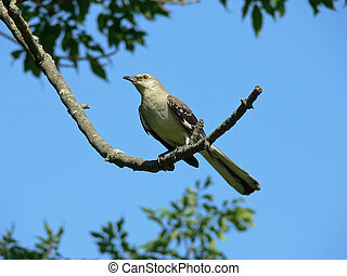 Northern Mockingbird Perched With Sky Background