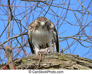 Red-tailed Hawk Feeding On Marsh Rat Looking Forward