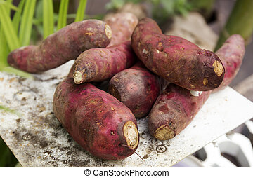 Sweet potatoes on the tray