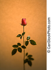 Rose Alone - A single rose with selective focus Parchment...