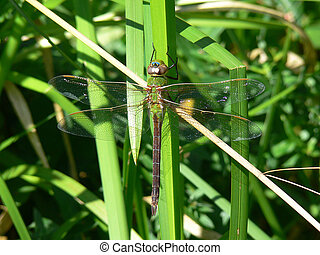 Green Darner Dragonfly Warming In Morning Sun