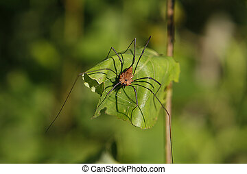 Harvestmen Golden Sitting On Leaf Warming In Sun