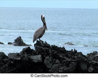 Pelican on lava rock in the Galapagos Islands
